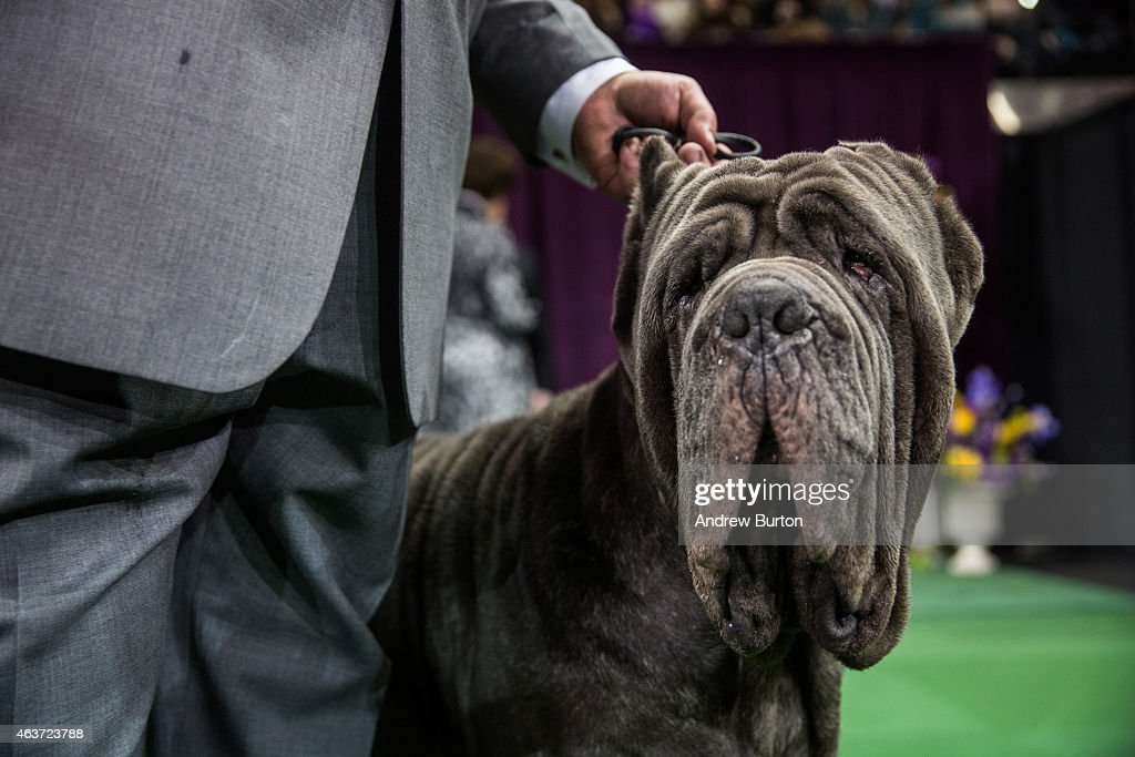 A Neapolitan Mastiff looks on before the Working Group round of the Westminster Kennel Club dog show on February 17, 2015 in New York City. The show, which is in its 139th year and is called the second-longest continuously running sporting event in the United States, includes 192 dog breeds and draws nearly 3,000 global competitors. This year's event began on Monday and will conclude with the awarding of 'Best In Show' on Tuesday night.