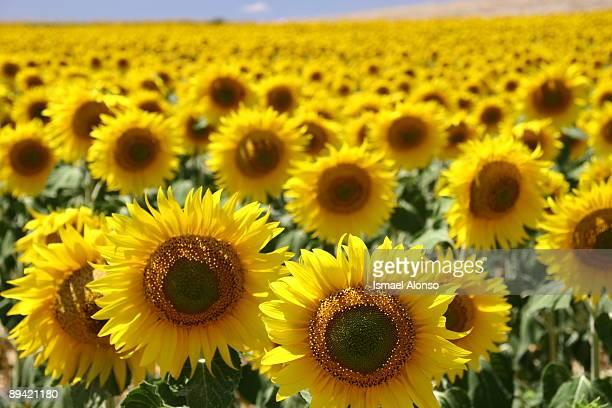 Near Gormaz Sunflowers field