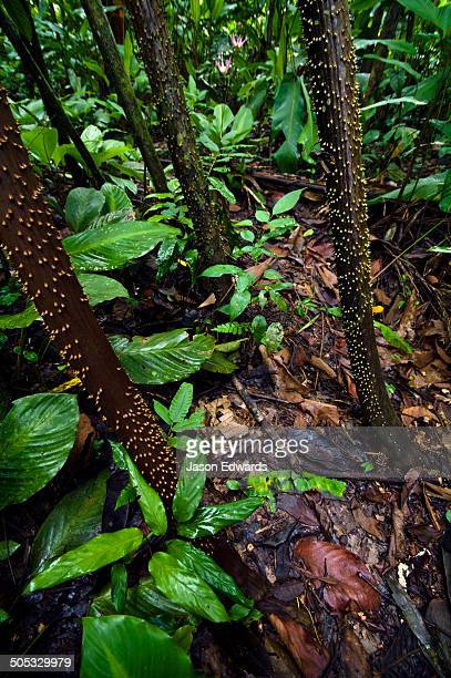 Large sharp spines protect the stilt roots of a Walking Palm from grazing predation in the Amazon Rainforest.
