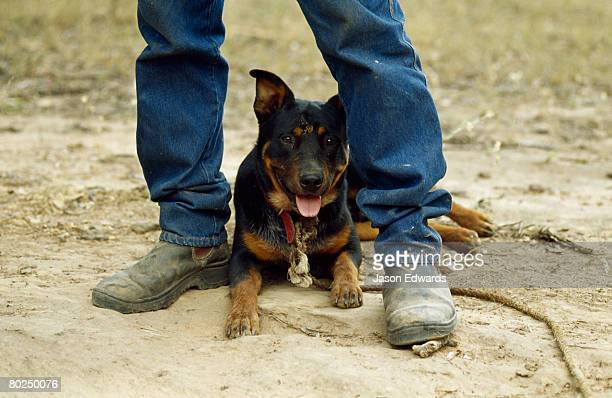 A farrier's kelpie dog resting between his legs on a hot afternoon.