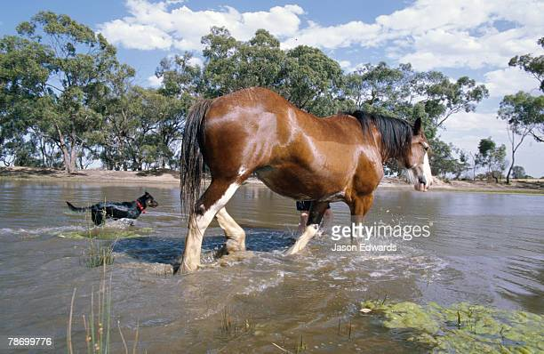 A horse farrier swimming with his Clydesdale horse and cattle dog.