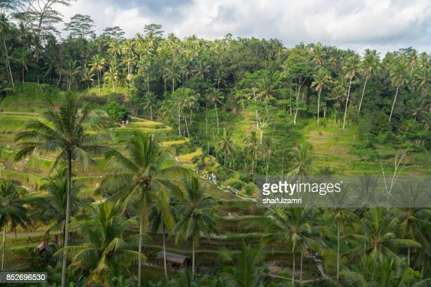 Near the cultural village of Ubud is an area known as Tegallalang that boasts the most dramatic terraced rice fields in all of Bali in Indonesia.