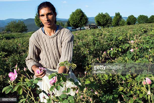 Near the village of Rozino about 150 km from Sofia Bulgaria workers are gathering rose flowers from which the famous Bulgarian Rose oil most valued...