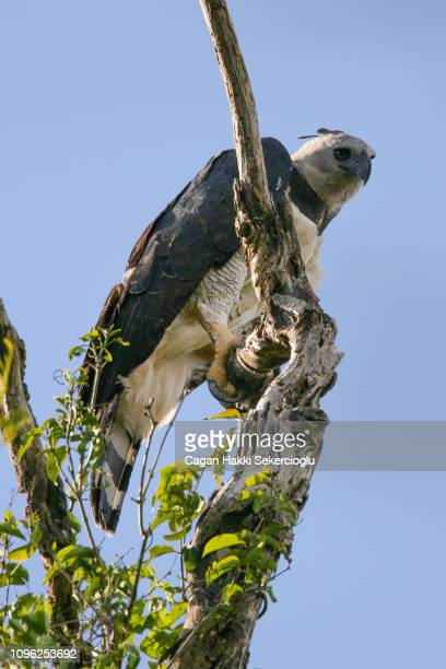 a near threatened harpy eagle, harpia harpyja, showing its massive talons. it is the largest and most powerful raptor found in the rainforest, and females like this are bigger than the males. - harpy eagle stock photos and pictures
