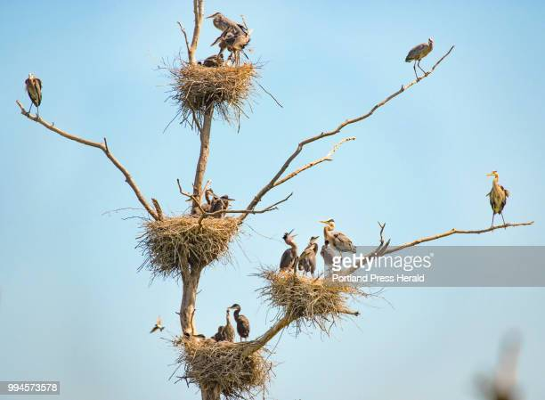 Nearly 20 great blue herons occupy one tree in four visible nests in a central Maine rookery The location one of the colonies being watched as part...