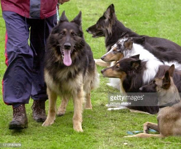 Neben seinem Herrchen geht Schäferhund Fylo am 19.7.2000 auf einem Hundeplatz in Dortmund dicht an einer Reihe andere Hunde vorbei, ohne auf seine...