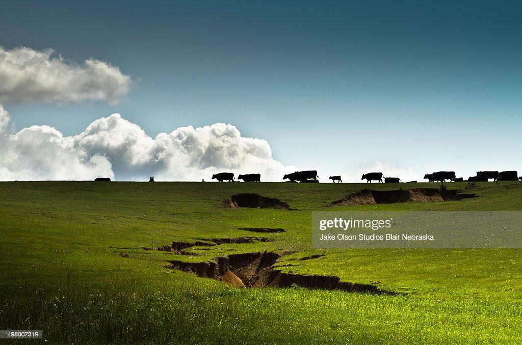 Nebraska Cattle : Stock Photo