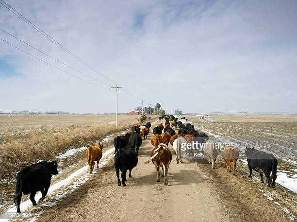 USA, Nebraska, Great Plains, herd of cattle on country road