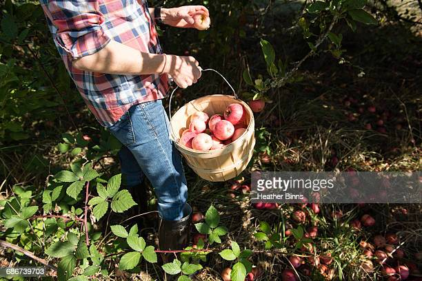 Neck down view of woman picking apples in organic farm orchard