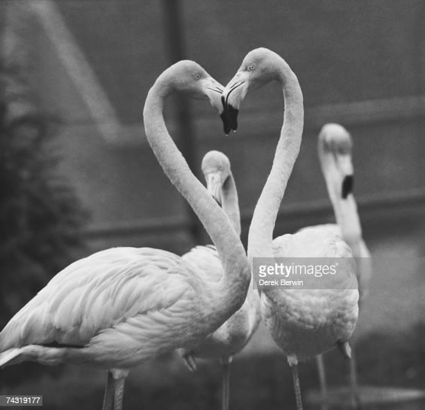 Necking Flamingoes