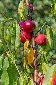 nectarine fruit tree