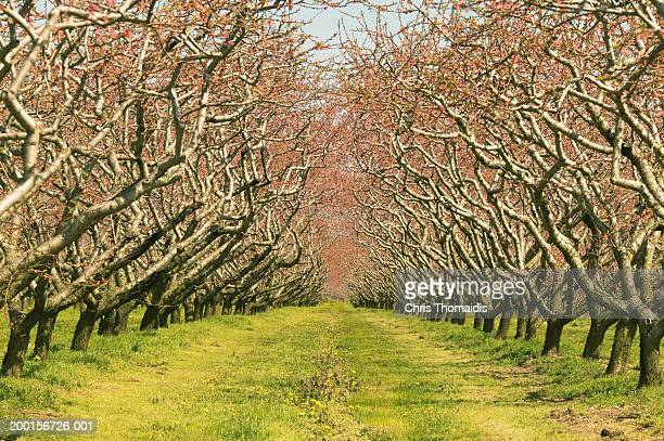 Nectarine orchard, trees covered with buds