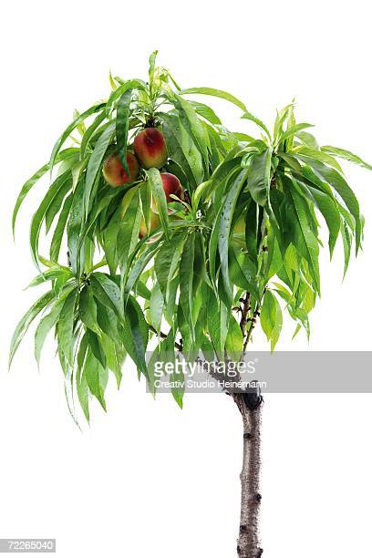 nectarine tree, close-up - peach tree stock pictures, royalty-free photos & images