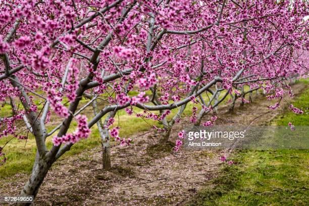 nectarine trees in bloom - alma danison - fotografias e filmes do acervo