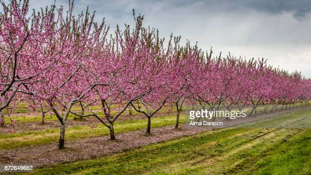 nectarine trees in bloom - alma danison stock photos and pictures