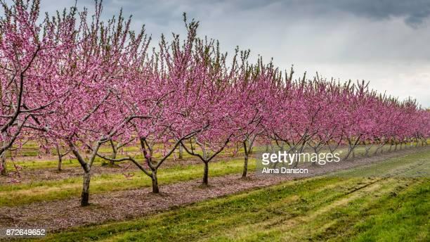 nectarine trees in bloom - alma danison stock-fotos und bilder