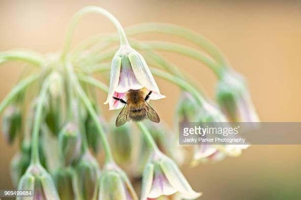 nectaroscordum (sicillian honey garlic) close up of the beautiful pink,cream and green bell shaped flowers of the nectaroscordum siculum plant, also known as sicillian honey garlic or honey lily. - macro animal photos et images de collection