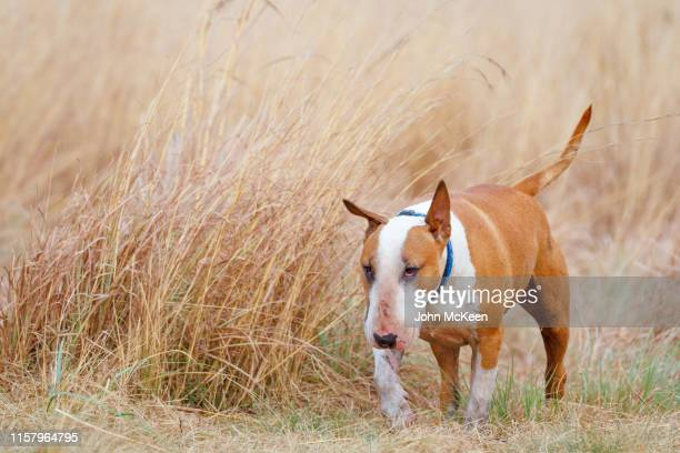 ned the bull terrier - bull terrier stock pictures, royalty-free photos & images
