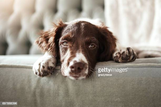 i need a hug right now! - spaniel stock photos and pictures