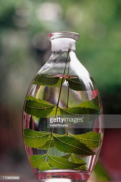 Neem leaves inside a jar, India.