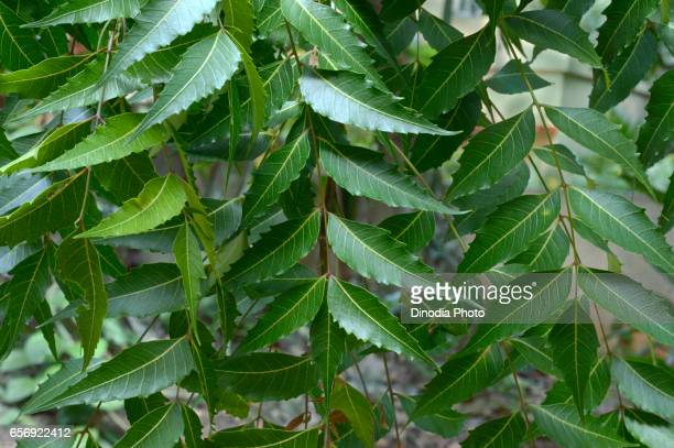 Neem leaves, Trivandrum, Kerala, India, Asia
