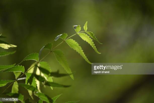 neem or azadirachta indica - neem tree stock pictures, royalty-free photos & images
