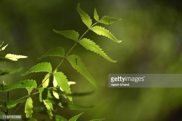neem or azadirachta indica - ニーム ストックフォトと画像