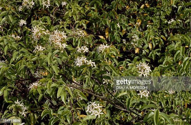 Neem Tree in flower or Melia Azedarach Indica Meliaceae