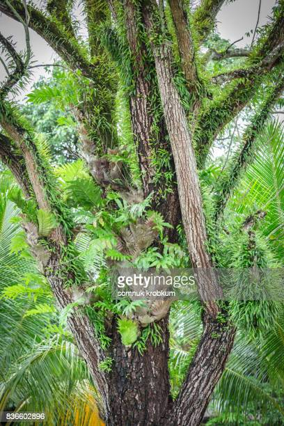 Neem tree in rainy season