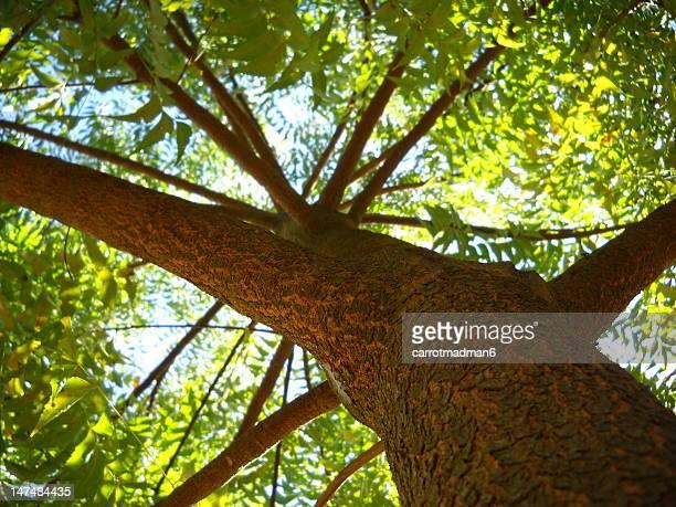 Neem Tree - the Indian Lilac (Azadirachta indica)