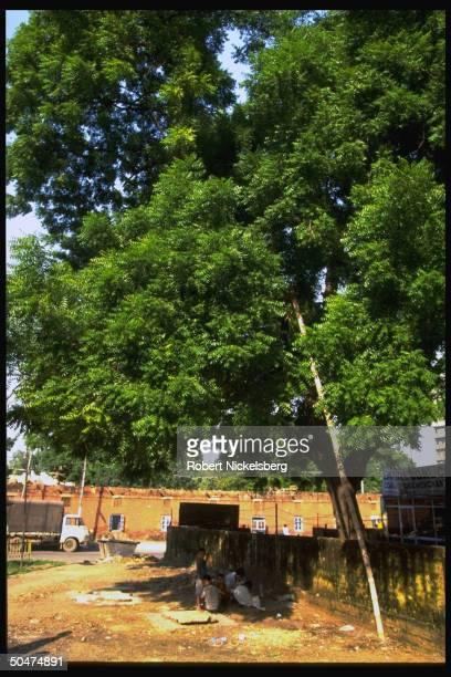 Neem trees gracing roadside, tree yielding bark, seeds & sticks used in medicinal preparations, latter used as toothbrushes.