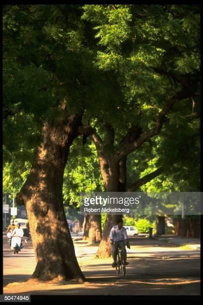 Neem trees gracing roadside tree yielding bark seeds sticks used in medicinal preparations latter used as toothbrushes