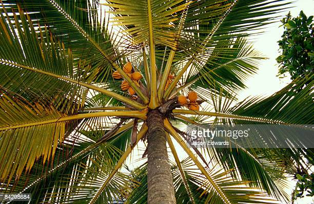 Bright orange coconuts hang in clusters in the canopy of a palm tree.