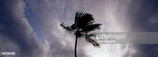 Palm Trees laden with coconuts silhouetted against a tropical storm.