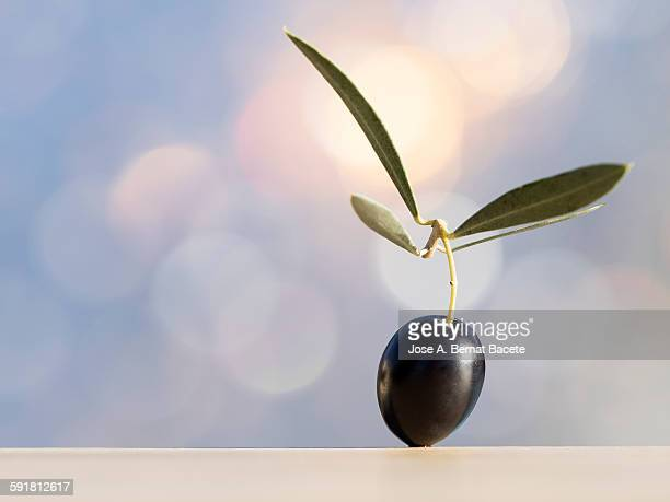 negress olive with a twig and a leaf of olive tree - spanish olive stock photos and pictures