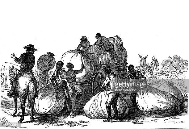 Negro labour loading sacks of cotton on cart to be taken for dressing and ginning, Southern states of USA. Wood engraving, 1860.