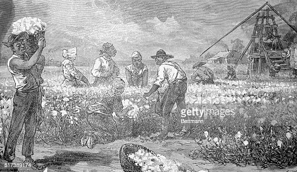 Negroes picking cotton Undated engraving