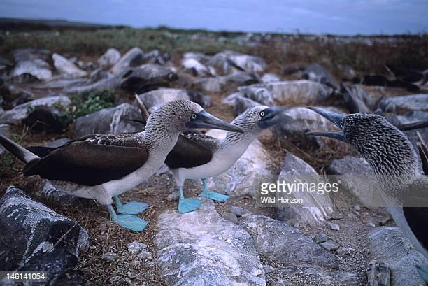 Neighboring bluefooted boobies fighting over nesting territory Sula nebouxii Floreana Island Charles Island Santa Maria Island Galapagos Archipelago...