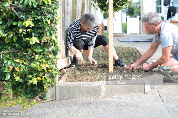 neighbours plant ornamental grass cuttings in a shared driveway garden - ornamental plant stock pictures, royalty-free photos & images