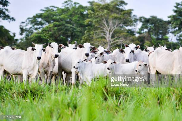 nelore cattle - herd of beef cattle - south america stock pictures, royalty-free photos & images