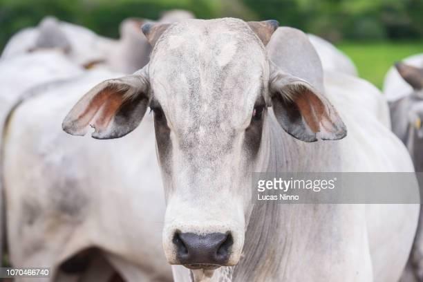 nelore cattle looking at camera - gado - fotografias e filmes do acervo