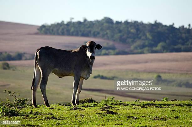 Nelore cattle pasture