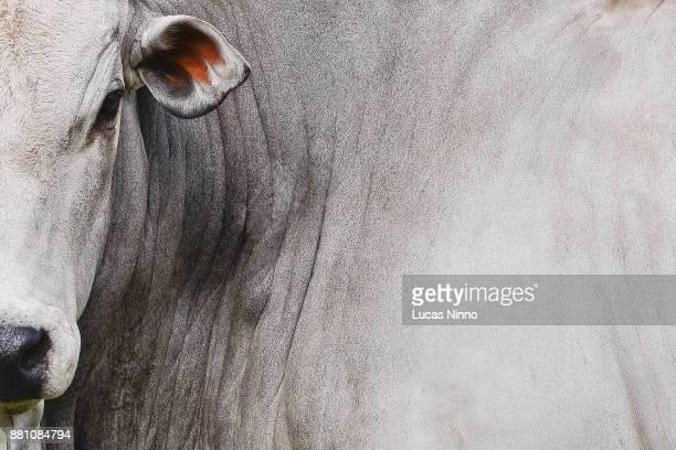 nelore cattle - toro animal fotografías e imágenes de stock