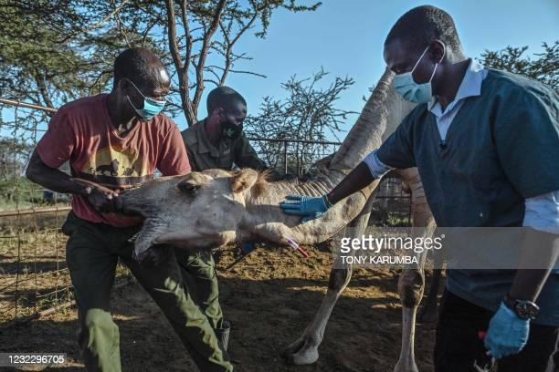 Nelson Kipchirchir , a research associate and resident vet, draws blood from an artery in the neck of a female camel as she is held down by resident...