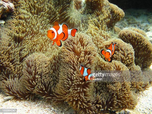 Família Nemo