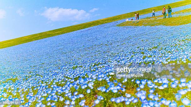CONTENT] Nemophila fields at Hitachi Seaside Park Ibaraki Japan There are people walking up and down along the area filled with small blue flowers...