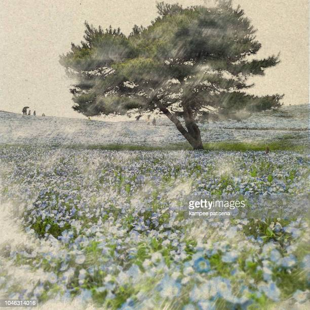 nemophila flower field: watercolor digital art created by photographer - antiek toestand stockfoto's en -beelden