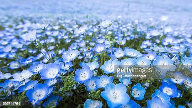 nemophila flower - primavera estação do ano - fotografias e filmes do acervo