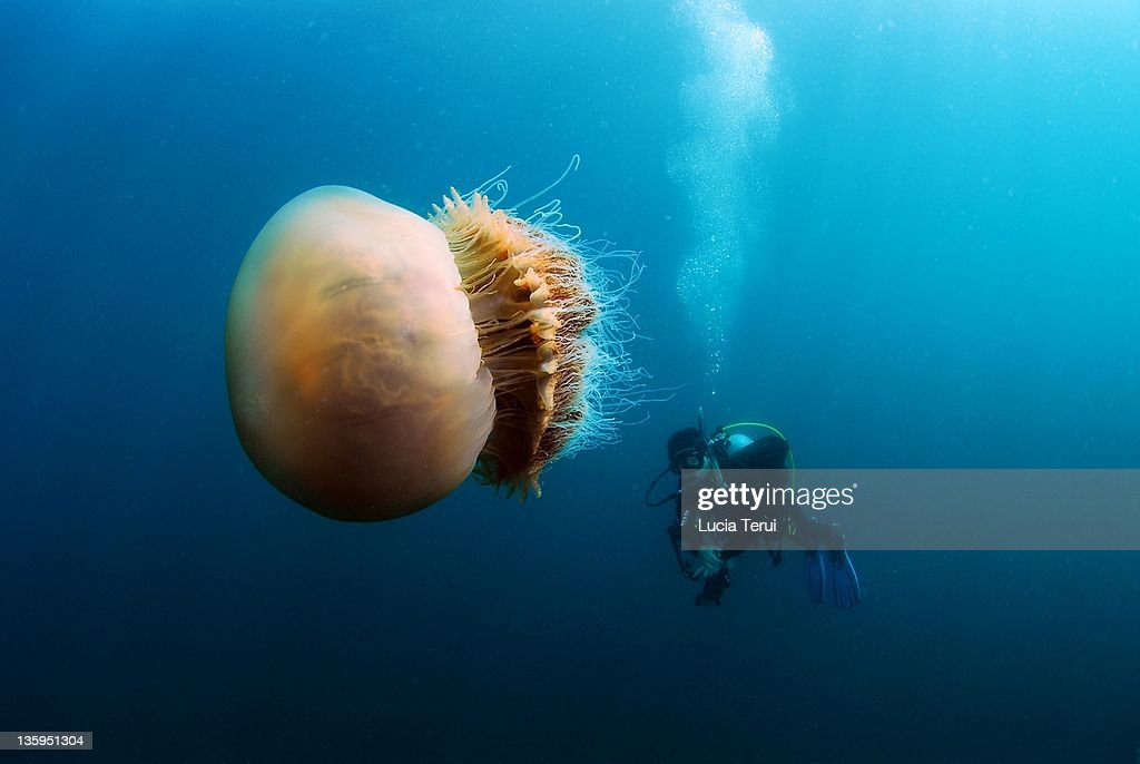 Nemopilema Nomurai : Stock Photo