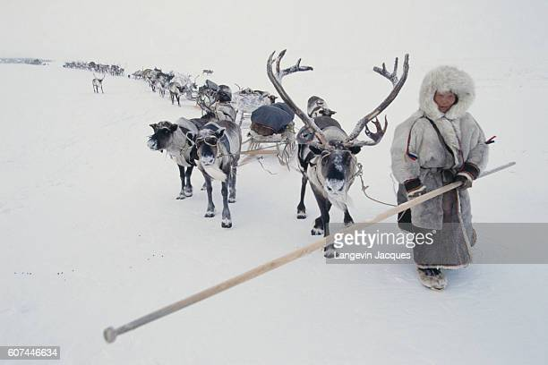 Nenet member leading reindeer in the Siberian tundra The Nenet are a nomadic people living in north east Europe and western Siberia and their...